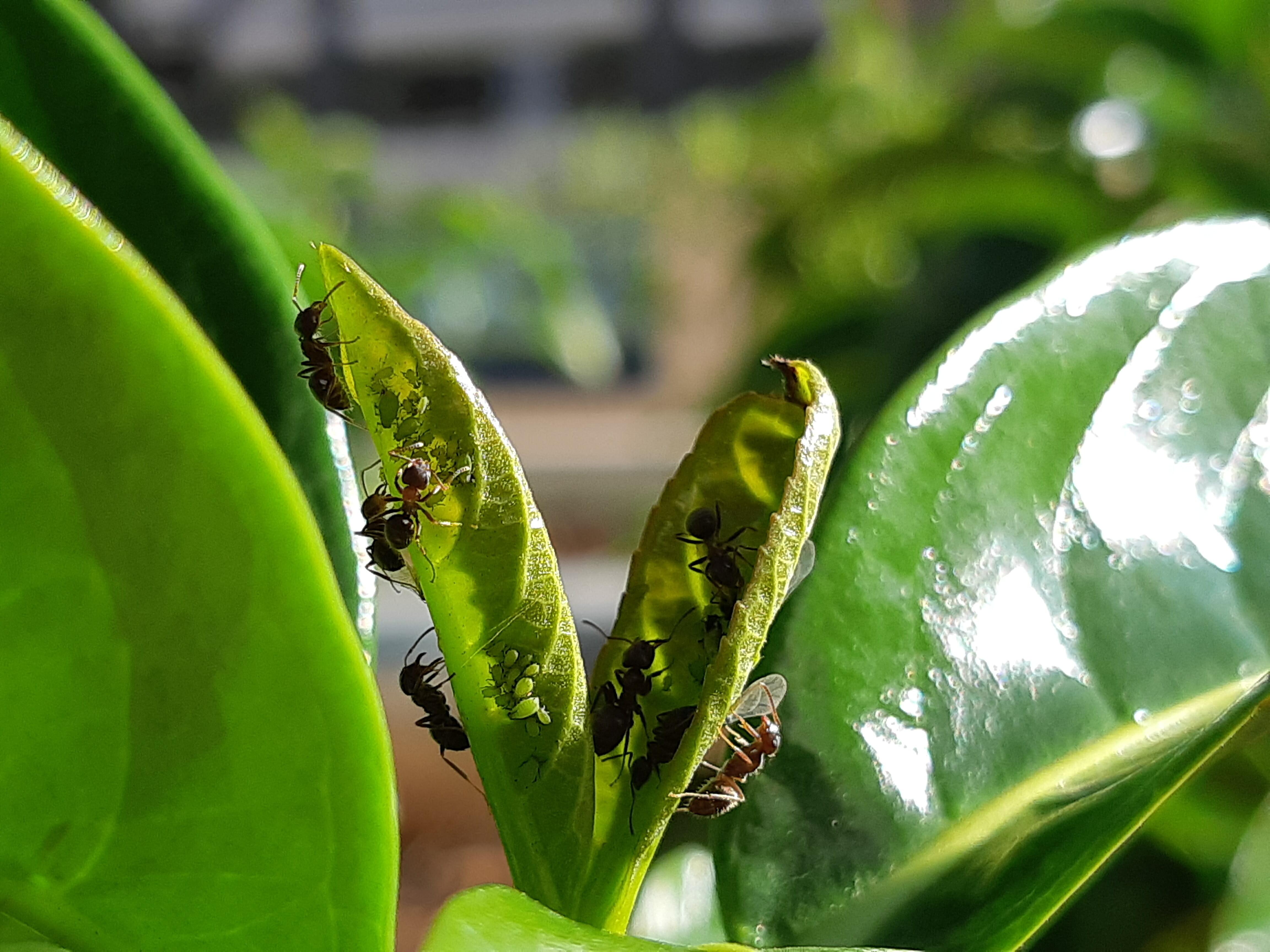 Hormigas pastoreando pulgones. Hormigas alimentándose de melaza de pulgones.