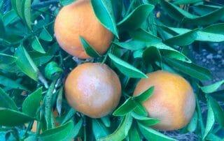 Síntomas producidos por fitoftora (Phytophthora) en fruto