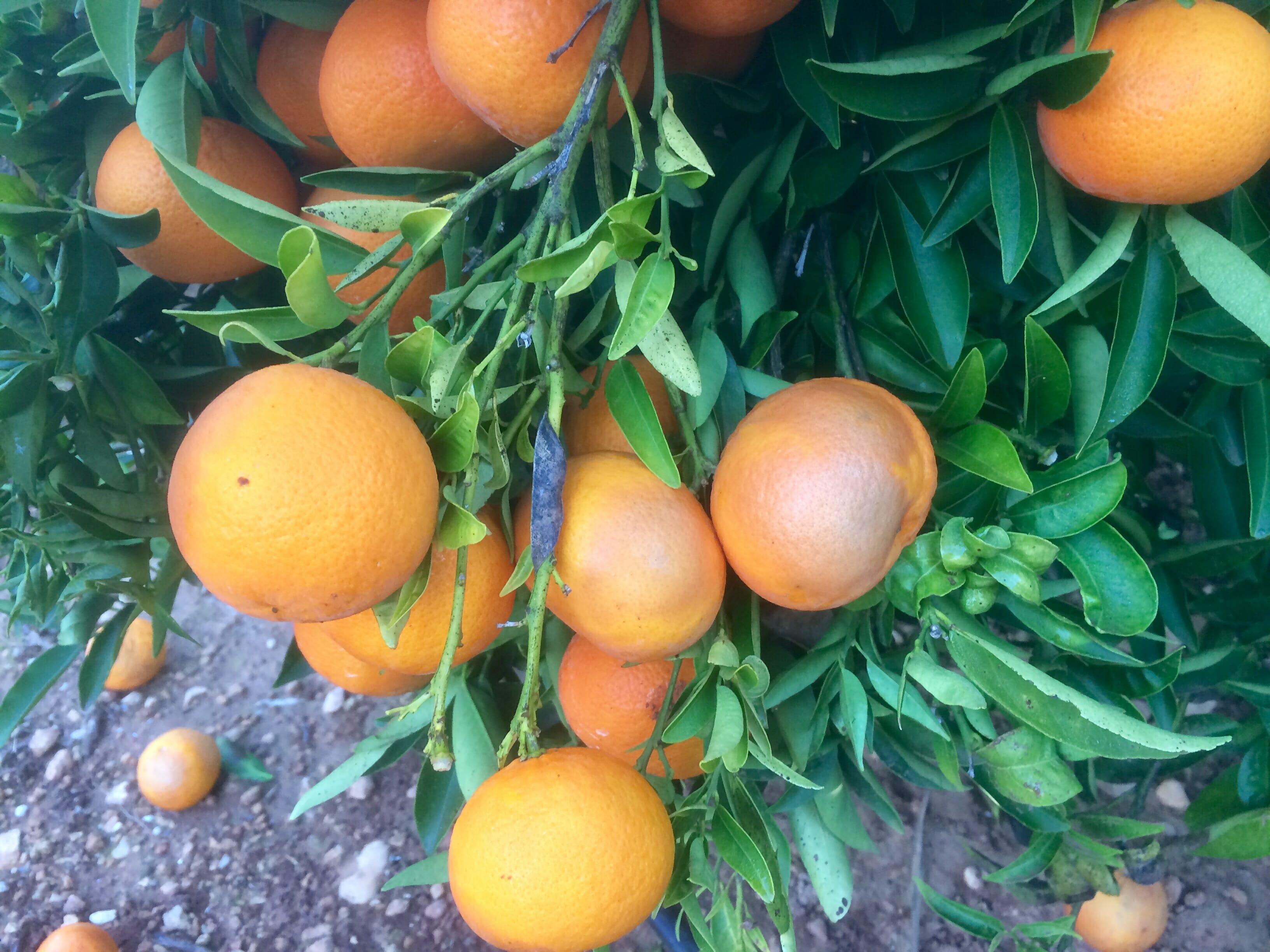 Síntomas de aguado sobre mandarina clementina. Síntomas producidos por fitoftora (Phytophthora) en fruto