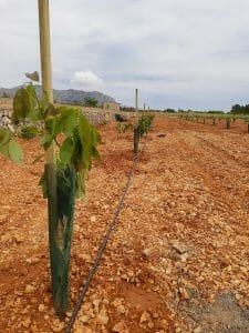Plantación de aguacate nueva
