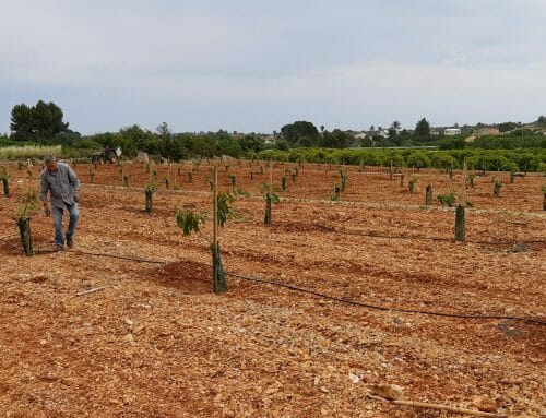 Cómo plantar aguacates