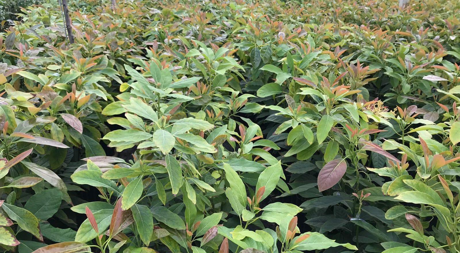 Plantones de vivero de aguacate que no fallan en campo