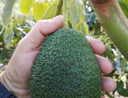 Fito hormonas engorde fruto – Cota Eco