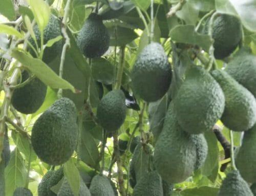 Cultivo aguacate Hass en Málaga, Granada, Valencia y Alicante.