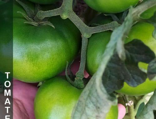 Plagas del tomate: como identificarlas